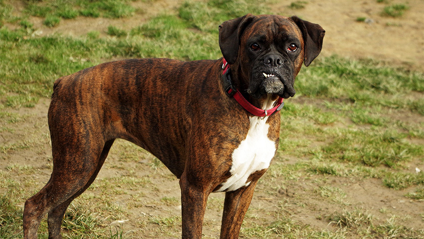 box dog - Before You Do: 4 Questions to Ask Yourself before You Adopt a Boxer