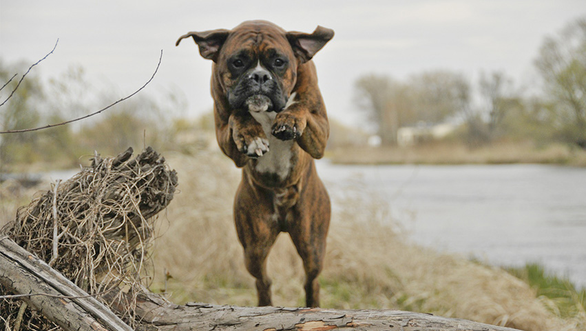boxer jump - What Boxers Are Like & Which Chew Treats Are Best According to Bully Stick Reviews