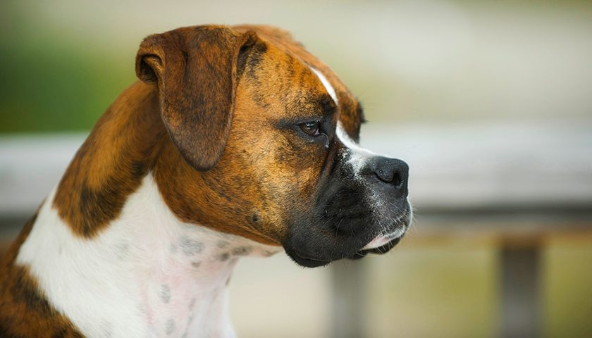 boxerdog 840x480 - What Boxers Are Like & Which Chew Treats Are Best According to Bully Stick Reviews