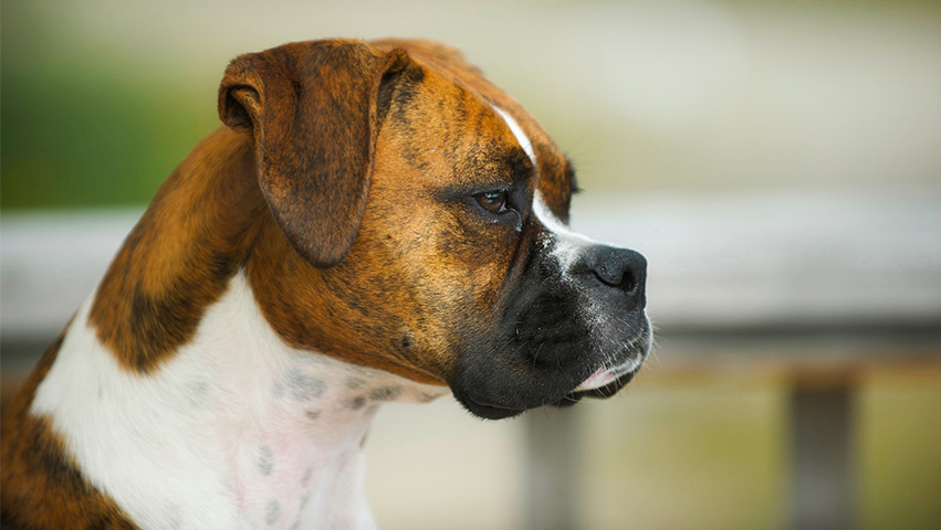 boxerdog - What Boxers Are Like & Which Chew Treats Are Best According to Bully Stick Reviews
